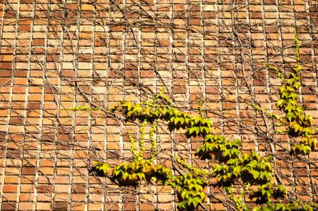 Details of bricks and ivy. Photo by Katherine B. Turner